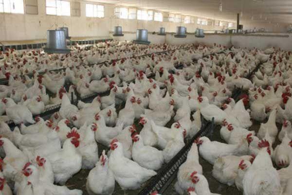 الإمارات تحظر استيراد الدواجن من السعودية بسبب إنفلونزا الطيور